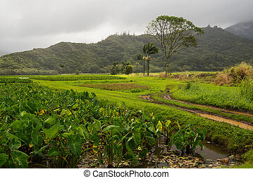 Taro fields on Kauai