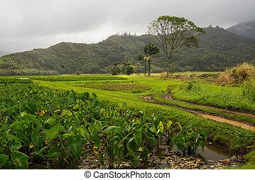 Taro fields on Kauai