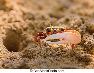 Uca vocans, Fiddler Crab walking in mangrove forest at...