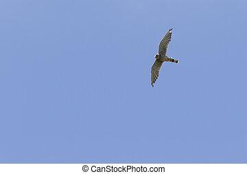 Common krestel (Falco tinnunculus) - A common krestel on his...
