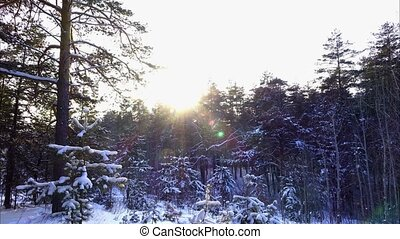 Sun is hiding behind the trees. Beautiful winter forest. Pine trees covered with snow. Windless weather. Sunny winter day. Time lapse footage