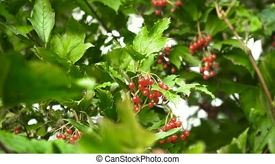 Branch of viburnum berries. - Viburnum (viburnum opulus)...
