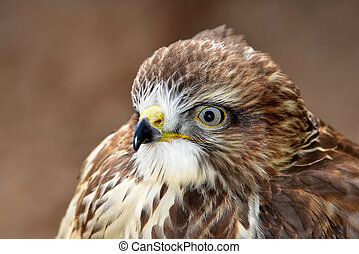 Portrait bird of prey Common buzzard (Buteo buteo)