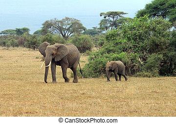 Elephants in Amboseli national park in Kenia
