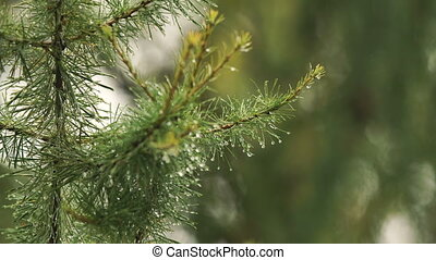Rain drops on the branch of spruce.Close up. - Pine branch...