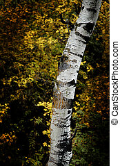 Fall Birch Trees with Autumn Leaves in Background - Fall...
