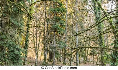 Trees in the forest, mountain Abkhazia - Landscape forest in...