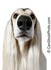 Portrait of Afghan hound - Close-up headshot of Afghan Hound...