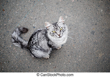 Grey tabby cat on a background of asphalt. Shallow depth of...