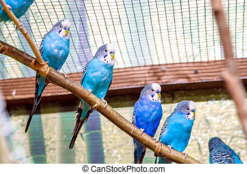 blue parrots sitting on a branch in an aviary - Image blue...