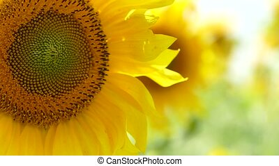 Blooming Sunflowers Swaying On Wind - CLOSE UP shot of...
