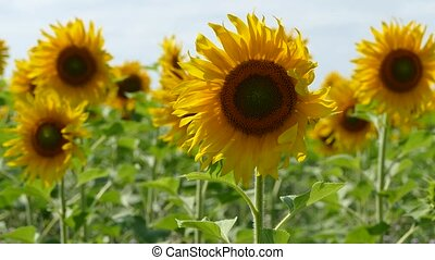 Sunflowers Swaying In The Field - Lots of bright sunflowers...