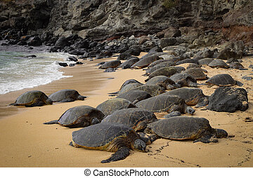 Turtle Beach - Sea turtles resting