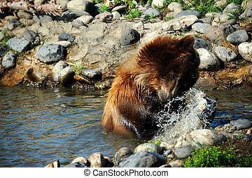 Slippery Fish - Young grizzly grapples with a slippery fish....
