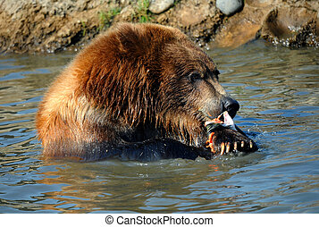 Agressive Appetite - Grizzly sits shoulder deep in water. He...