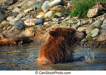Bear Plunge - Young grizzly bear pulls his head from the...