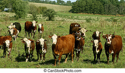 hereford cows in a pasture - various sizes of hereford cows...