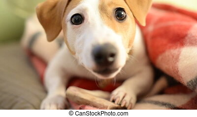 Jack Russell Terrier eats dog treat - Jack Russell Terrier...