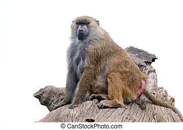 Baboon monkey isolated