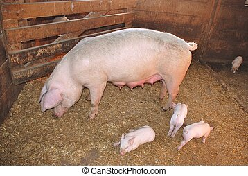 Mother pig with newborn piglets on a farm
