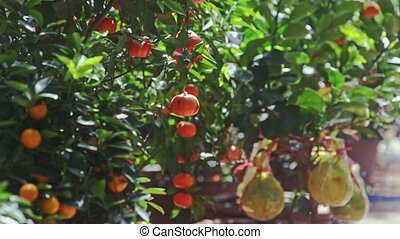 Mandarins on Branches Wind Shakes Leaves at Sunlight -...