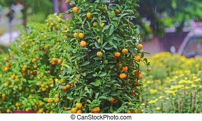 Mandarin Trees on Street Market Stand under Tropical Rain -...