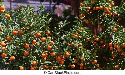 Mandarin Trees on Street Market Wind Shakes Leaves at...