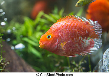 Love heart blood parrot cichild fish in aquarium