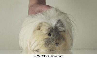 Beautiful guinea pig breed Coronet cavy slow motion stock...