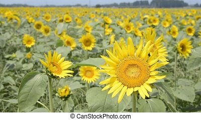 Sunflower field - Bright yellow sunflower field swaying in...