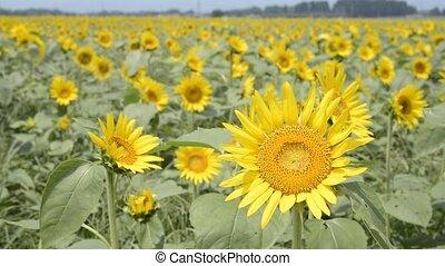 Sunflower field - Bright yellow sunflower field swaying in...