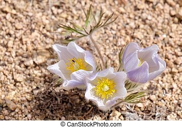 Close up of Pulsatilla or Pasque flower. - Independece Pass...