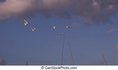 Flight of birds. - Group seagulls flying over the lake.