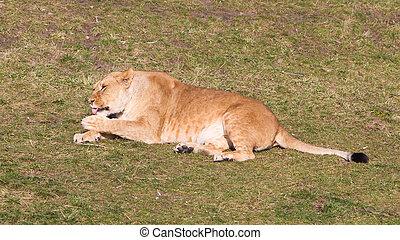 Lioness washing in het natural habitat, selective focus