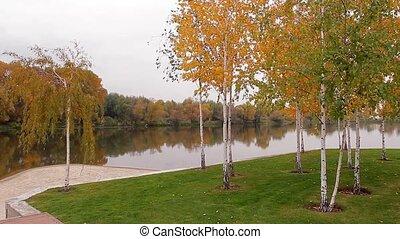 Golden birch grove. - Beautiful autumn park. Golden birch...