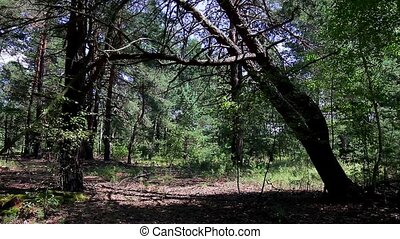 Pine forest. - Summer pine forest in the sunlight.