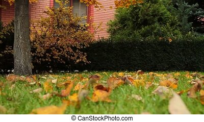 Autumn yard. Yellow leaves lay on a green lawn.