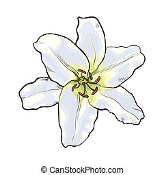 Single hand drawn white lily flower, top view, vector...