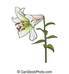 Single white lily flower with stem and leaves, side view -...