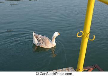 White Wild Goose - White wild goose on the river surface