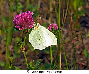 butterfly on flower of the dutch clover