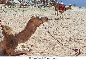 Wadi Rum, Jordan - Dromedaries in the desert of Wadi Rum,...