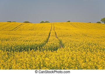 rape field in april / schleswig-holstein / germany