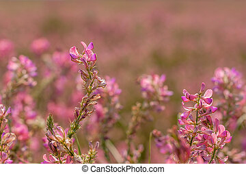 Field of blooming sainfoin - Field of beautiful pink...