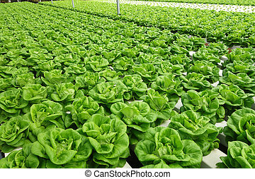 Commercial greenhouse soilless cultivation of vegetables -...
