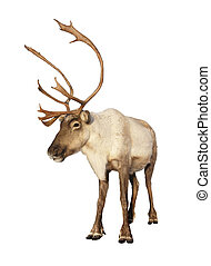 Complete caribou reindeer isolated - Complete caribou...