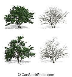dogwood trees, isolated on white background.