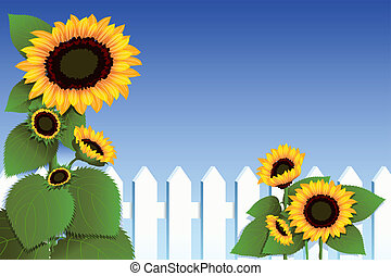Sunflowers - A vector illustration of sunflowers against a...