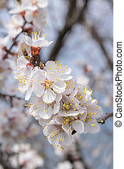 Apricot Blossom on Branch - Soft floral background. Apricot...