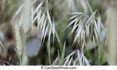 Closeup shot of cereal plants of paddock with seeds,...